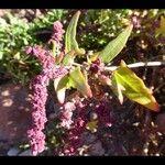 Atriplex prostrata Flower