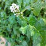 Mentha x rotundifolia