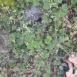 Drymaria cordata Leaf