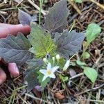 Solanum nigrum Õis