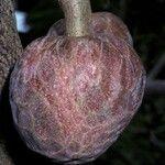 Annona reticulata
