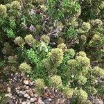 Thymus carnosus