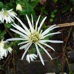 Leucanthemum catalaunicum