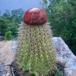 Melocactus intortus