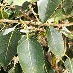 Ficus cordata