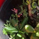Talinum paniculatum Flor