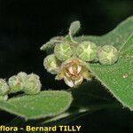 Cotoneaster tomentosus