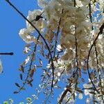 Wisteria sinensis Fleur