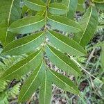 Molinaea alternifolia Hoja