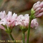 Asperula occidentalis