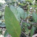 Sida rhombifolia Leaf