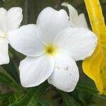 Plumeria pudica Kvet