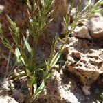 Eragrostis nigricans