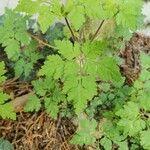 Geranium robertianum 葉