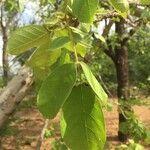 Markhamia zanzibarica