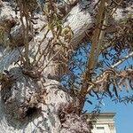 Salix caprea Fleur