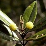Myrtopsis sellingii