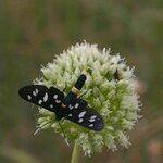 Allium scaberrimum