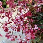 Begonia hydrocotylifolia