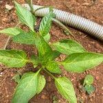 Capsicum annuum Leaf