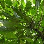 Philodendron ensifolium