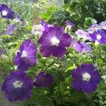 Petunia violacea