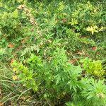 Artemisia vulgaris Blomst