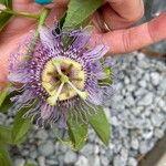 Passiflora edulis Flor