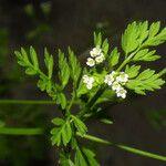 Chaerophyllum procumbens