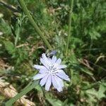 Cichorium intybus Fleur
