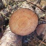 Pinus sylvestris Arall