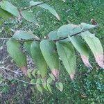 Deutzia scabra Leaf