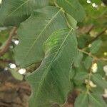 Ceratonia siliqua List