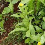 Calendula maderensis