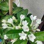 Stephanotis floribunda 花