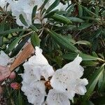 Rhododendron degronianum