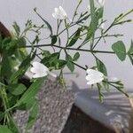 Rhinacanthus nasutus