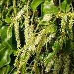 Basellaceae