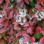 Photinia glabra 葉