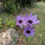 Catananche caerulea Fleur