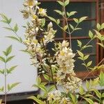 Nandina domestica Flor
