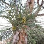 Pinus halepensis Bark