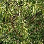 Prunus dulcis Feuille