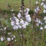 Linaria arvensis