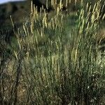 Agropyron desertorum