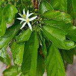 Trichospermum inmac