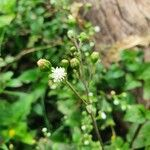 Adenostemma mauritianum