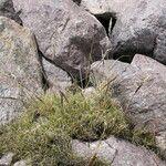 Deyeuxia curvula