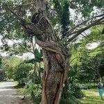 Ficus thonningii Bark