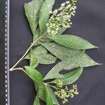 Koanophyllon hylonomum